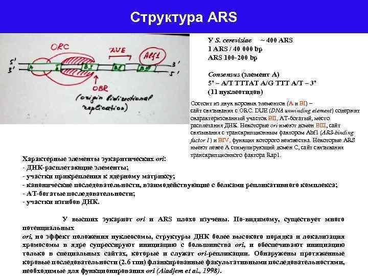 Структура ARS У S. cerevisiae ~ 400 ARS 1 ARS / 40 000 bp