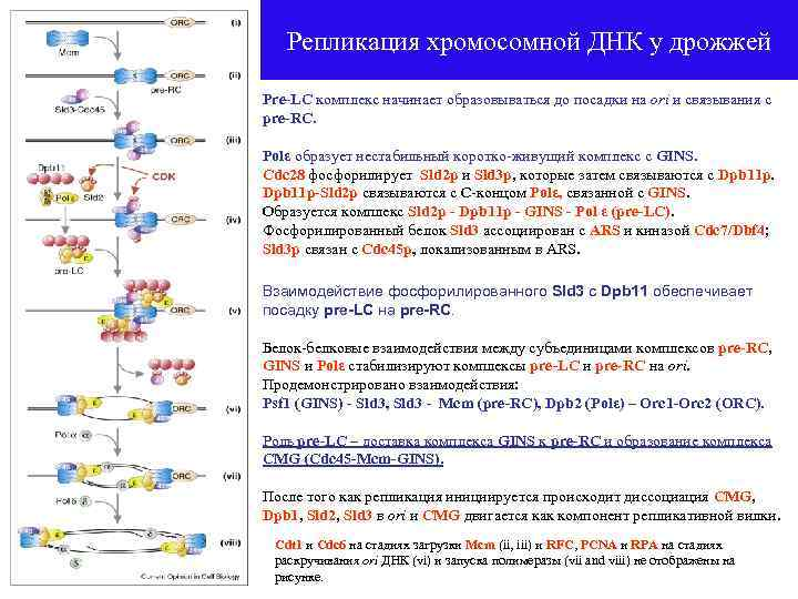 Репликация хромосомной ДНК у дрожжей Pre-LC комплекс начинает образовываться до посадки на ori и