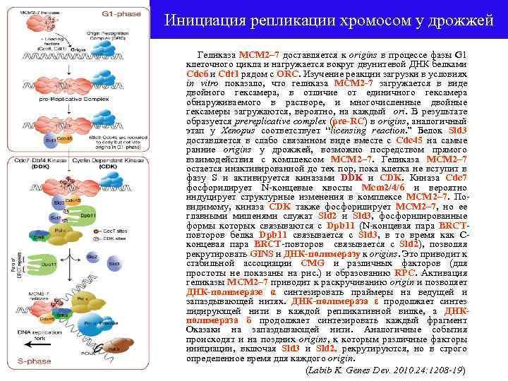 Инициация репликации хромосом у дрожжей Геликаза MCM 2– 7 доставляется к origins в процессе