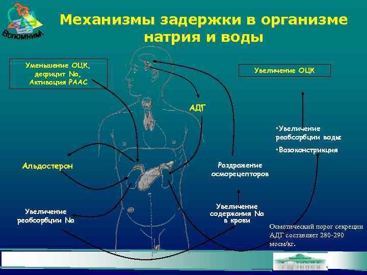 Механизмы задержки в организме натрия и воды Уменьшение ОЦК, дефицит Na, Активация РААС Увеличение