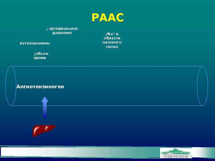 РААС ↓ артериальное давление катехоламины ↓объем крови Ангиотензиноген ↓Na+ в области плотного пятна