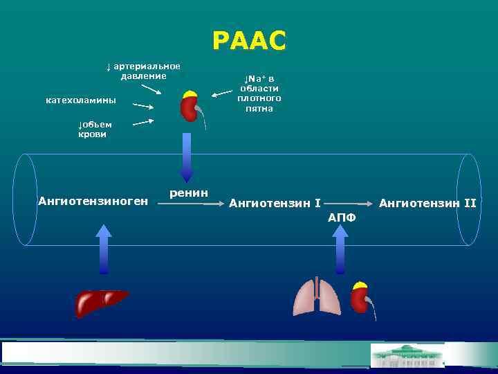 РААС ↓ артериальное давление катехоламины ↓Na+ в области плотного пятна ↓объем крови Ангиотензиноген ренин