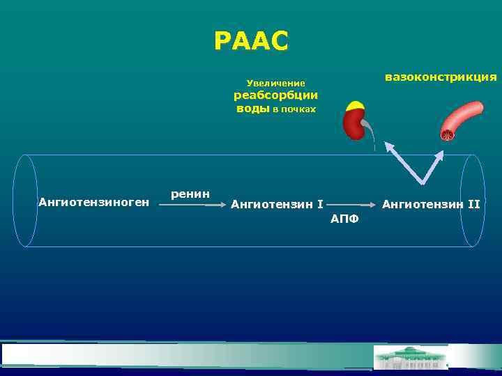 РААС вазоконстрикция Увеличение реабсорбции воды в почках Ангиотензиноген ренин Ангиотензин II АПФ