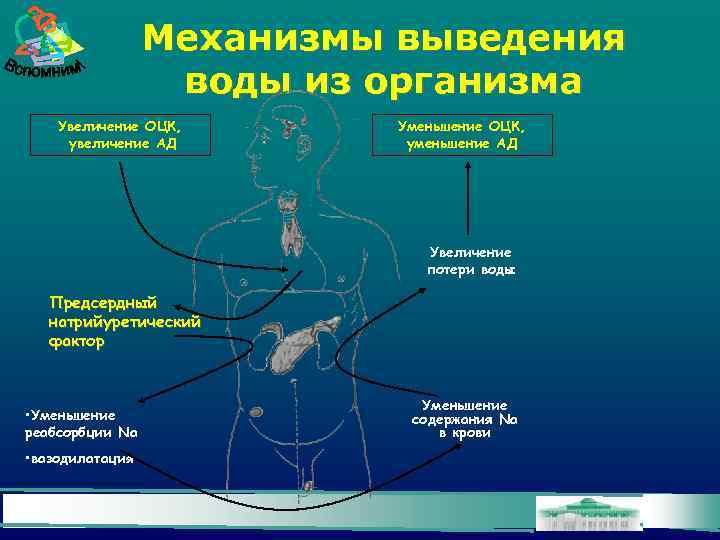 Механизмы выведения воды из организма Увеличение ОЦК, увеличение АД Уменьшение ОЦК, уменьшение АД Увеличение
