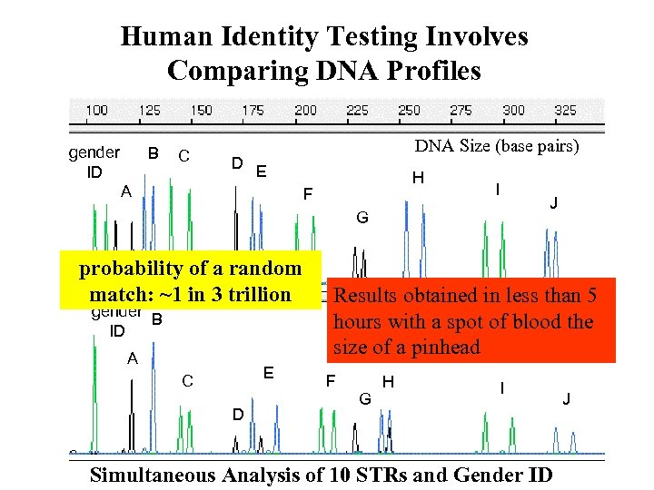 Human Identity Testing Involves Comparing DNA Profiles gender ID B C D DNA Size