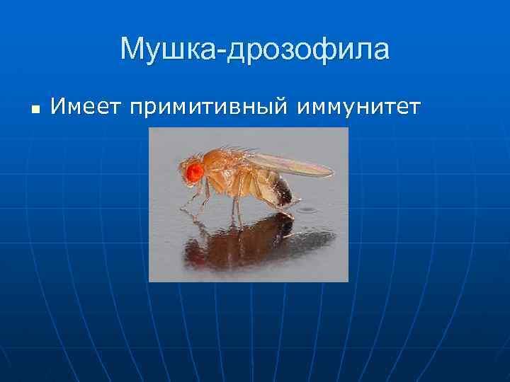 Мушка-дрозофила n Имеет примитивный иммунитет