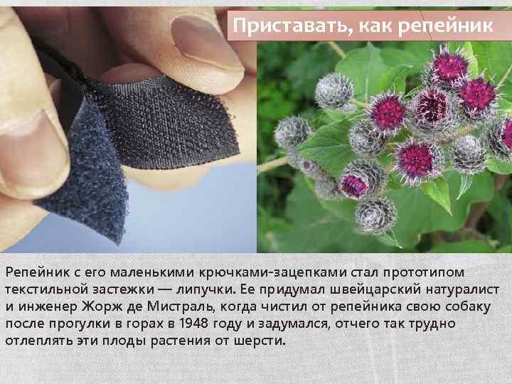 Приставать, как репейник Репейник с его маленькими крючками-зацепками стал прототипом текстильной застежки — липучки.