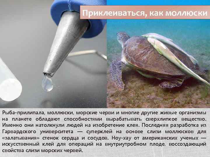 Приклеиваться, как моллюски Рыба-прилипала, моллюски, морские черви и многие другие живые организмы на планете