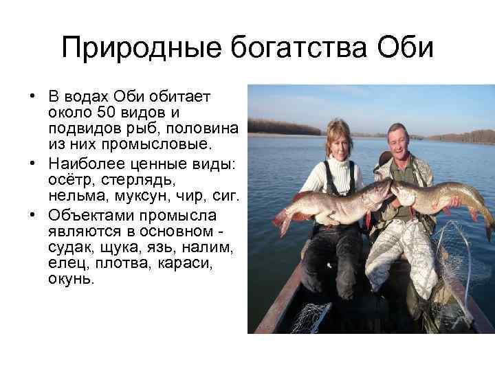 Природные богатства Оби • В водах Оби обитает около 50 видов и подвидов рыб,