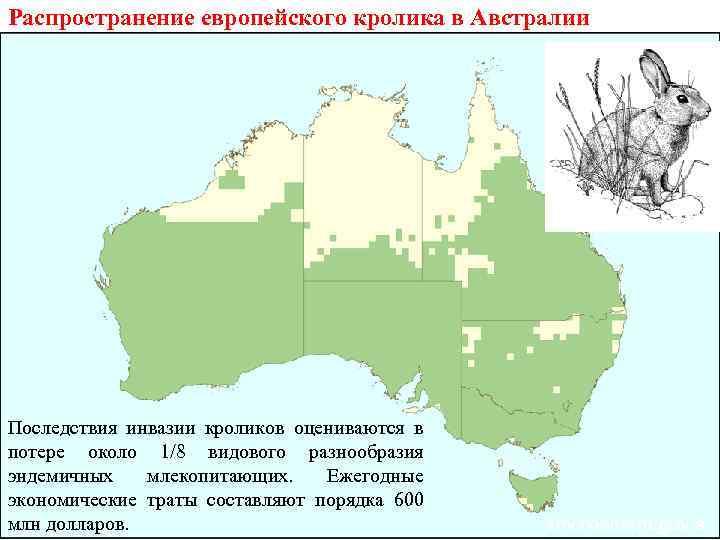 Распространение европейского кролика в Австралии Последствия инвазии кроликов оцениваются в потере около 1/8 видового