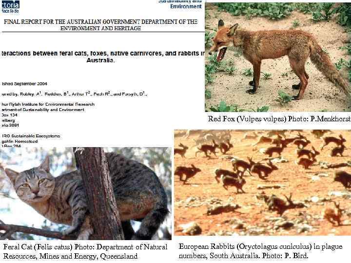 Red Fox (Vulpes vulpes) Photo: P. Menkhorst Feral Cat (Felis catus) Photo: Department of