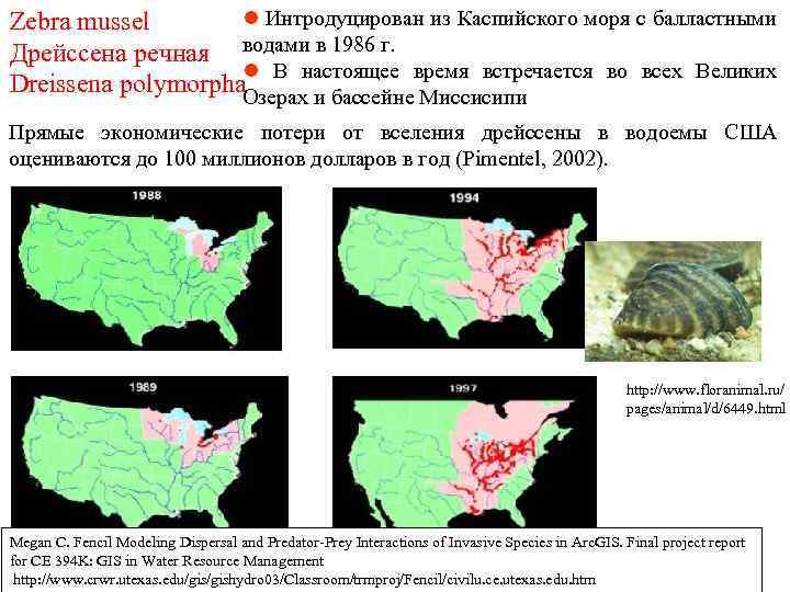 l Интродуцирован из Каспийского моря с балластными Zebra mussel Дрейссена речная водами в 1986