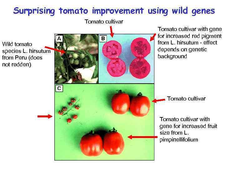 Surprising tomato improvement using wild genes Tomato cultivar Wild tomato species L. hirsutum from