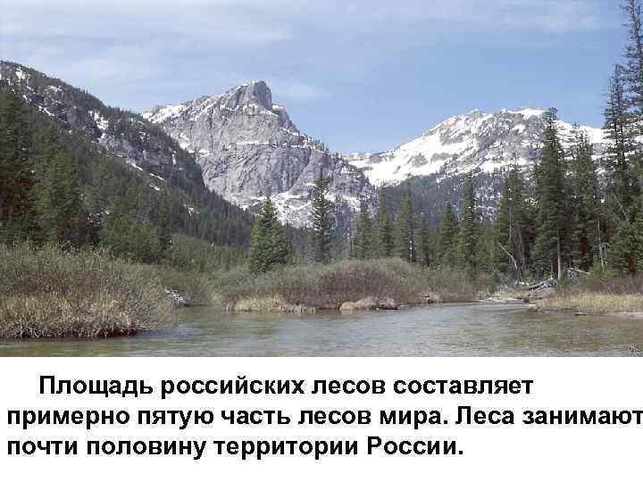 Площадь российских лесов составляет примерно пятую часть лесов мира. Леса занимают почти половину