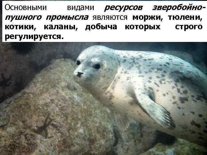 видами ресурсов зверобойнопушного промысла являются моржи, тюлени, котики, каланы, добыча которых строго регулируется. Основными