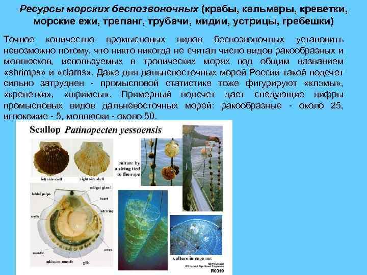 Ресурсы морских беспозвоночных (крабы, кальмары, креветки, морские ежи, трепанг, трубачи, мидии, устрицы, гребешки) Точное