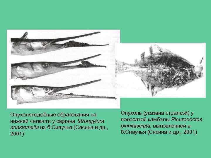 Опухолеподобные образования на нижней челюсти у саргана Strongylura anastomella из б. Сивучья (Сясина и