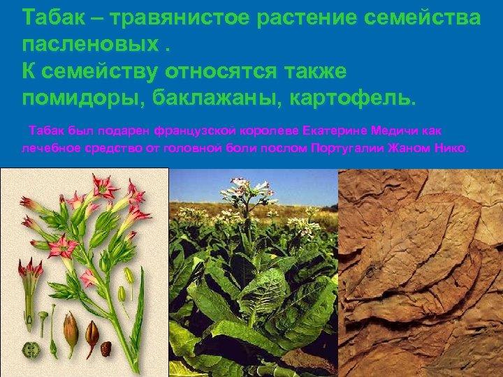 Табак – травянистое растение семейства пасленовых. К семейству относятся также помидоры, баклажаны, картофель. Табак