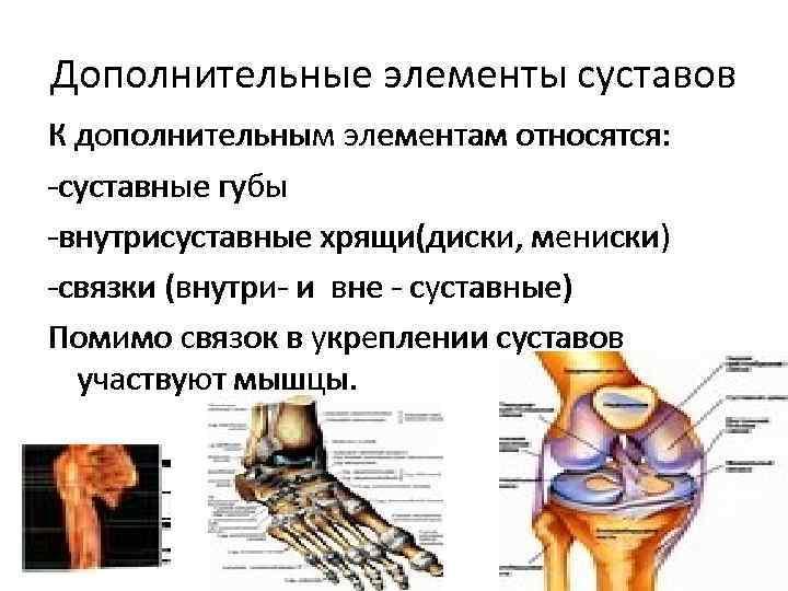 Дополнительные элементы суставов К дополнительным элементам относятся: -суставные губы -внутрисуставные хрящи(диски, мениски) -связки (внутри-
