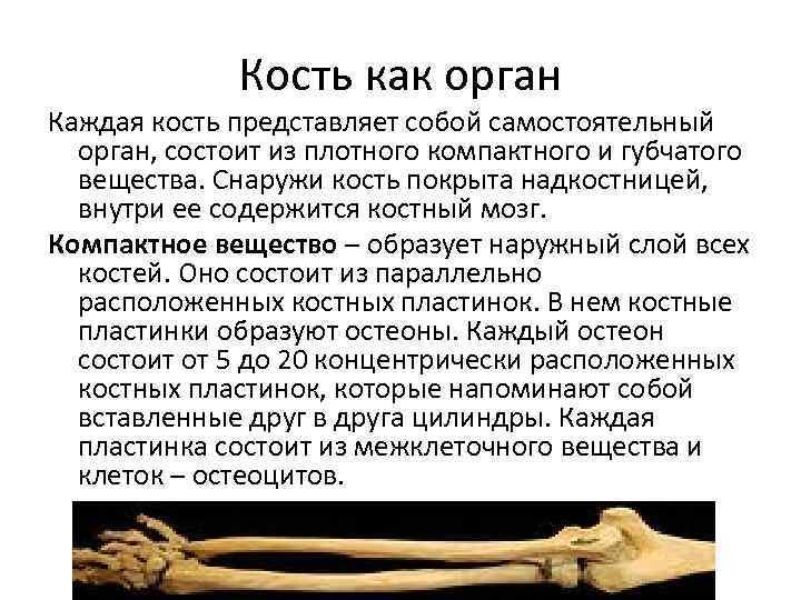Кость как орган Каждая кость представляет собой самостоятельный орган, состоит из плотного компактного и