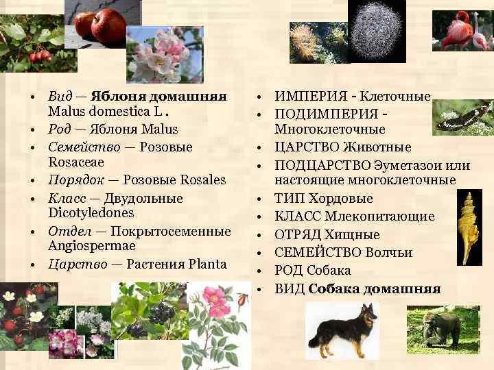 • Вид — Яблоня домашняя Malus domestica L. • Род — Яблоня Malus
