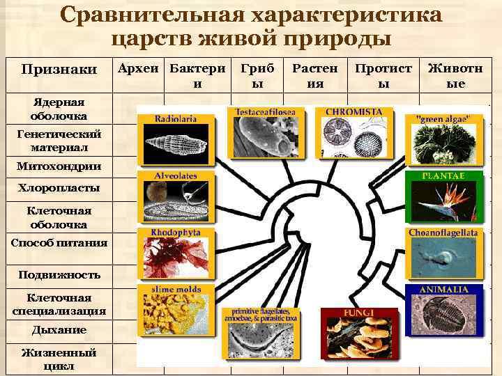 Сравнительная характеристика царств живой природы Признаки Ядерная оболочка Генетический материал Митохондрии Хлоропласты Клеточная оболочка