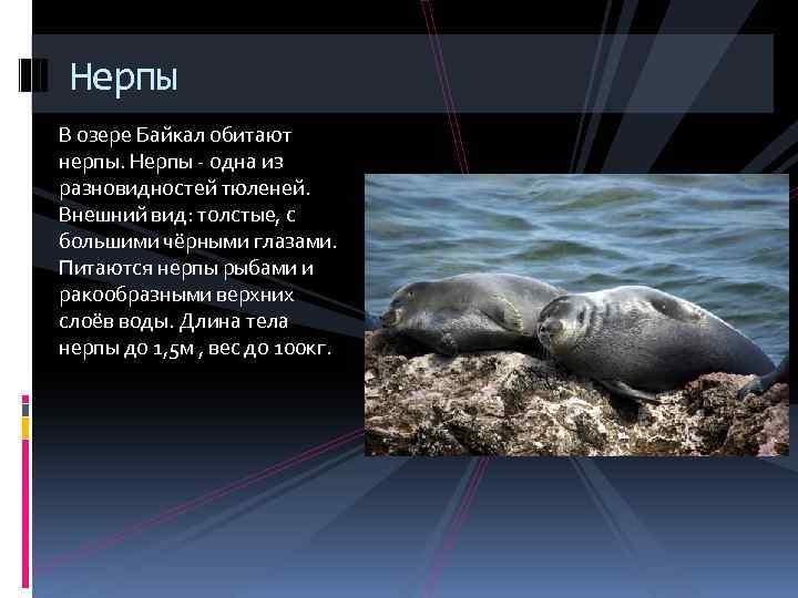 Нерпы В озере Байкал обитают нерпы. Нерпы - одна из разновидностей тюленей. Внешний вид: