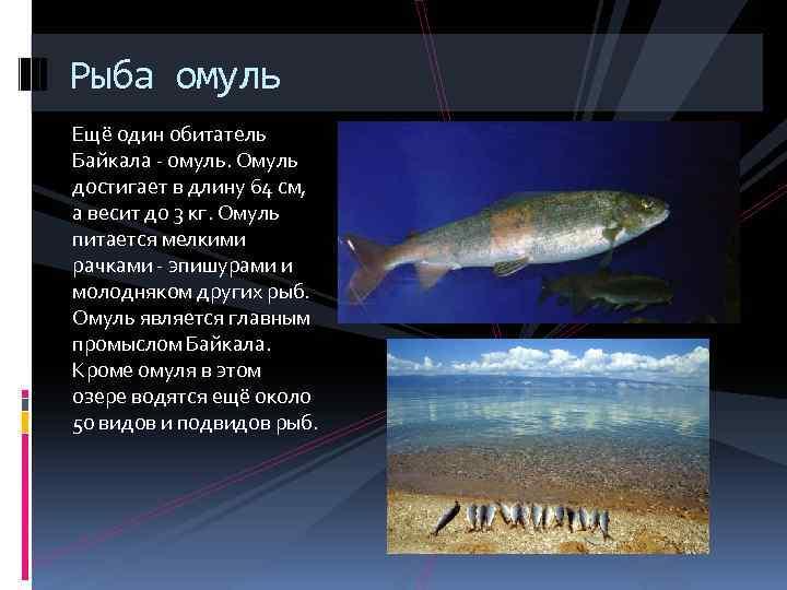 Рыба омуль Ещё один обитатель Байкала - омуль. Омуль достигает в длину 64 см,