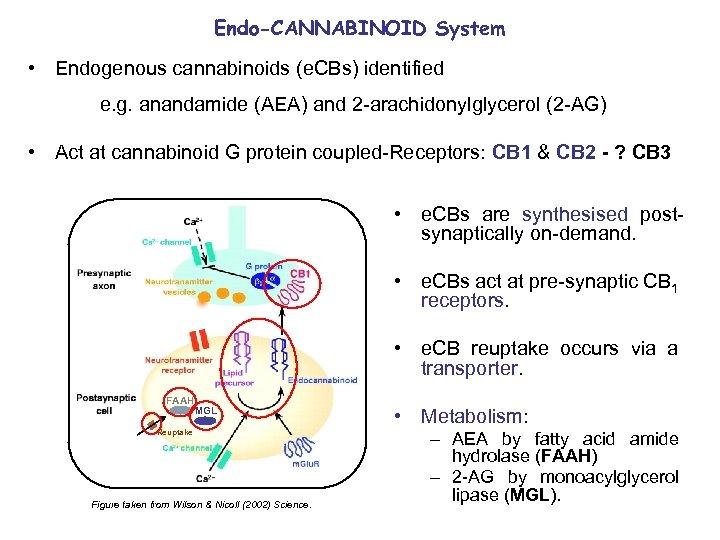 Endo-CANNABINOID System • Endogenous cannabinoids (e. CBs) identified e. g. anandamide (AEA) and 2