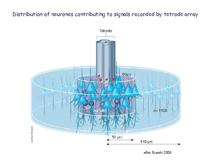 Distribution of neurones contributing to signals recorded by tetrode array after Busaki 2004