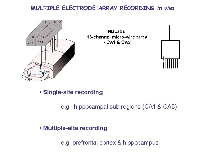 MULTIPLE ELECTRODE ARRAY RECORDING in vivo NBLabs 16 -channel micro-wire array • CA 1