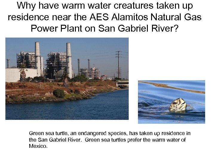 Why have warm water creatures taken up residence near the AES Alamitos Natural Gas