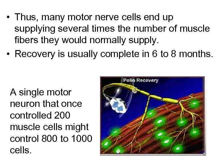 • Thus, many motor nerve cells end up supplying several times the number