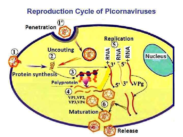 Reproduction Cycle of Picornaviruses