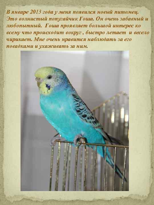 В январе 2013 года у меня появился новый питомец. Это волнистый попугайчик Гоша. Он