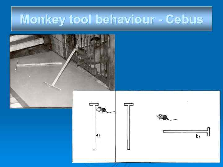 Monkey tool behaviour - Cebus