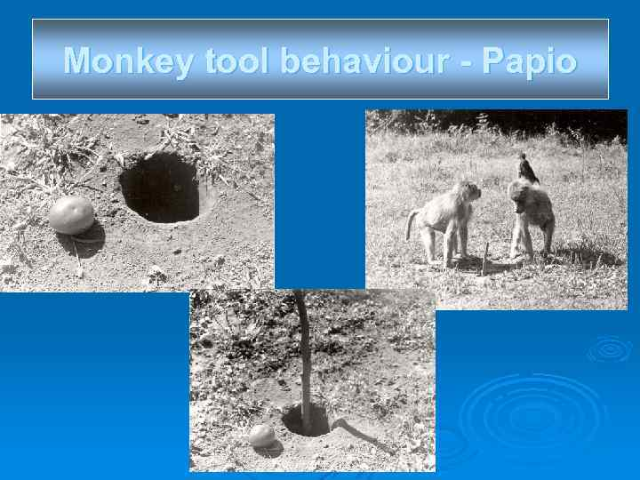 Monkey tool behaviour - Papio
