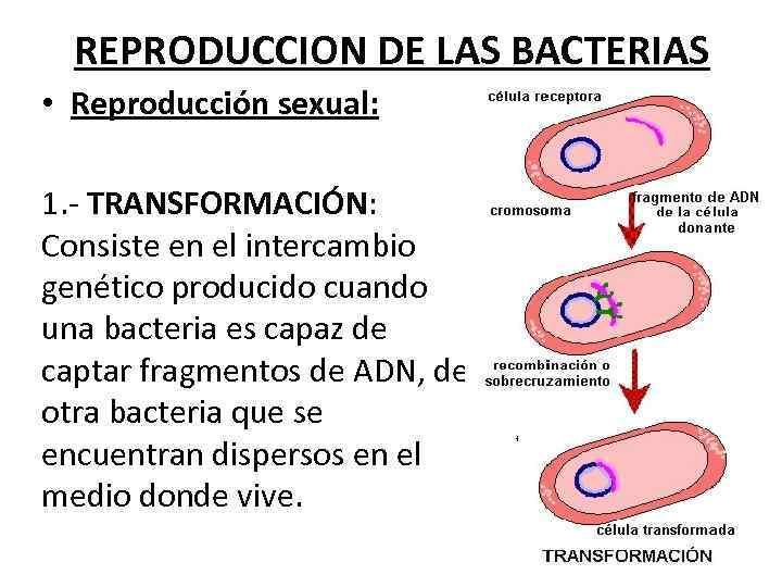 REPRODUCCION DE LAS BACTERIAS • Reproducción sexual: 1. - TRANSFORMACIÓN: Consiste en el intercambio
