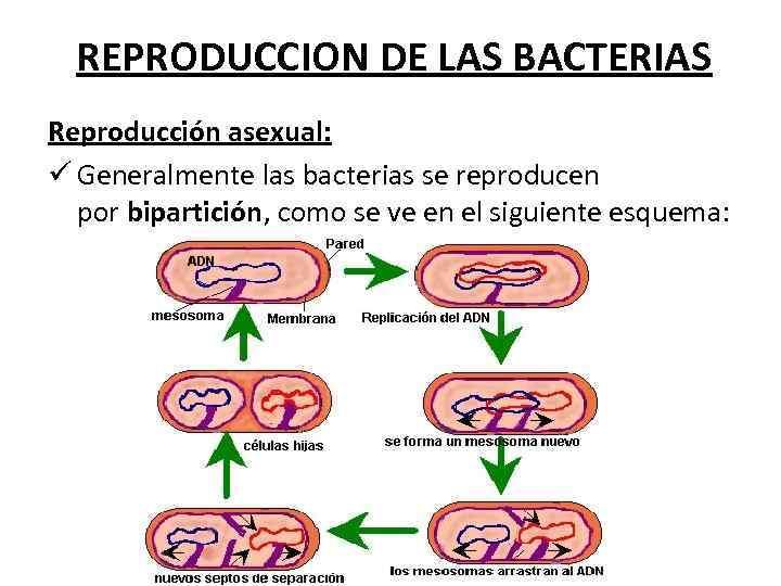 REPRODUCCION DE LAS BACTERIAS Reproducción asexual: ü Generalmente las bacterias se reproducen por bipartición,