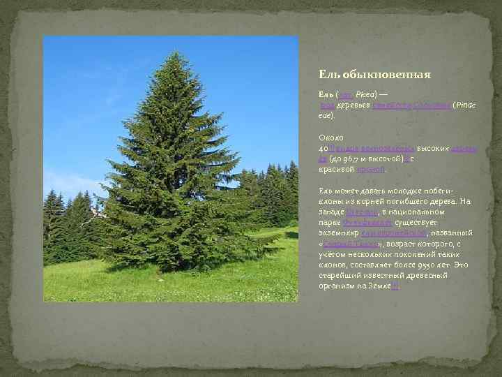 Ель обыкновенная Ель (лат. Pícea) — род деревьев семейства Сосновые (Pinac eae). Около 40[2]