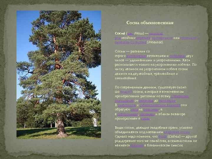 Сосна обыкновенная Сосна (лат. Pínus) — типовой род хвойных деревьев, кустарников илистлаников с емейства