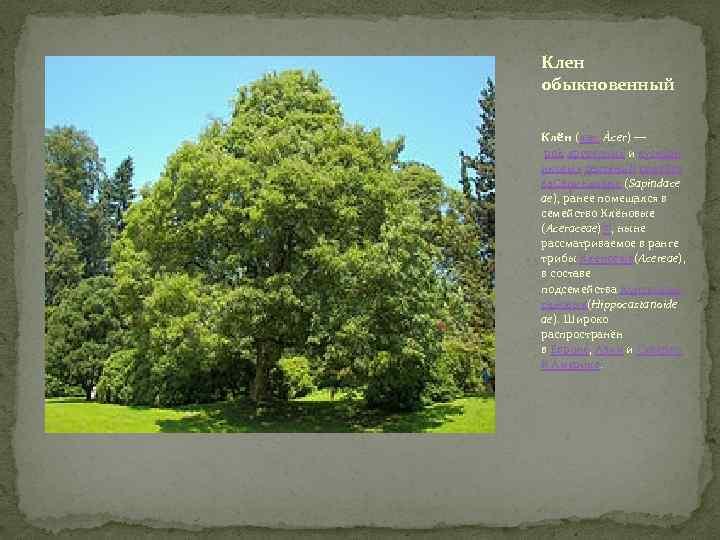Клен обыкновенный Клён (лат. Ácer) — род древесных и кустарн иковых растений семейст ва.