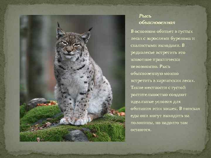Рысь обыкновенная В основном обитает в густых лесах с зарослями бурелома и скалистыми выходами.