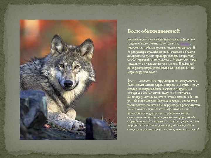 Волк обыкновенный Волк обитает в самых разных ландшафтах, но предпочитает степи, полупустыни, тундру, лесостепь,