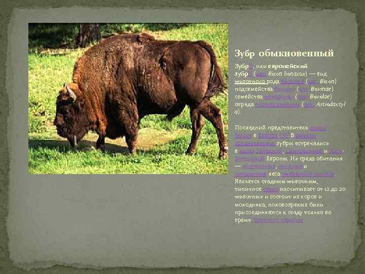 Зубр обыкновенный Зубр[1], или европейский зубр[1] (лат. Bison bonasus) — вид животного рода бизонов