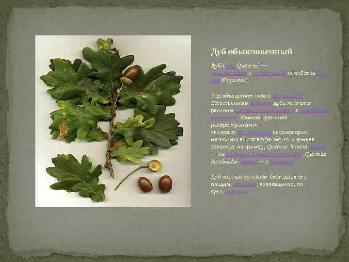 Дуб обыкновенный Дуб (лат. Quércus) — род деревьев и кустарников семейства Буко вые(Fagaceae). Род