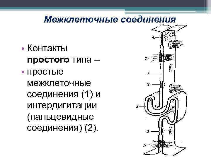 Межклеточные соединения • Контакты простого типа – • простые межклеточные соединения (1) и интердигитации