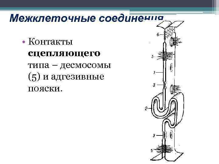 Межклеточные соединения • Контакты сцепляющего типа – десмосомы (5) и адгезивные пояски.