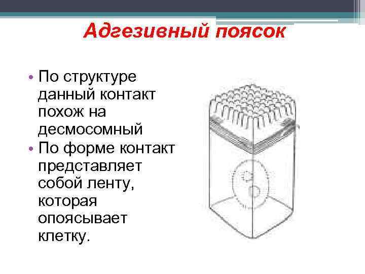 Адгезивный поясок • По структуре данный контакт похож на десмосомный • По форме контакт