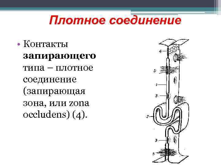 Плотное соединение • Контакты запирающего типа – плотное соединение (запирающая зона, или zona occludens)